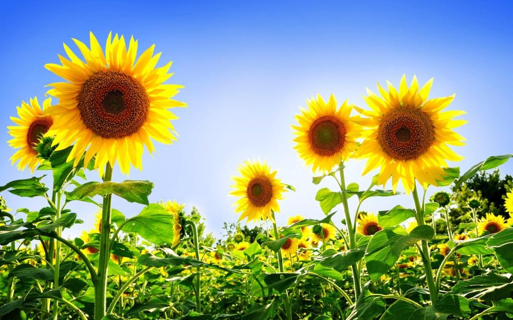 6812585-sunflowers