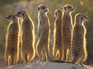 meerkats_1024
